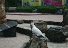 和平 鸽子图片