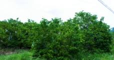 杨桃树图片