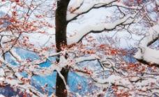 被雪覆盖的红叶图片
