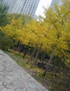银杏树 落叶 石板路图片