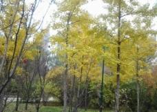 银杏树 落叶图片