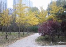 银杏树落叶图片