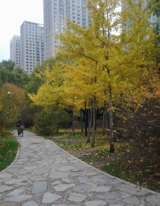 公园小路 银杏树图片