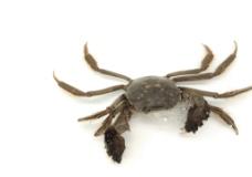 盘锦河蟹图片
