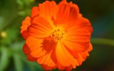 硫华菊图片