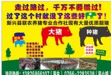 养猪海报 养殖猪 猪场 农场图片