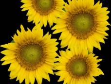 葵花向阳花图片