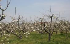 4月梨花图片