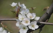 四月梨花图片