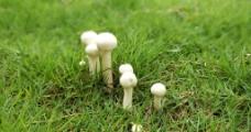白蘑菇图片