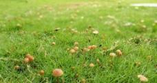 草坪蘑菇图片