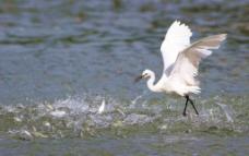 白鹭捕鱼图片