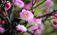 粉红樱花图片