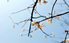 樱桃花图片