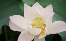 盛开的粉红白荷花图片