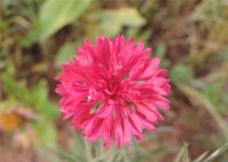 红色矢车菊图片