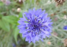 蓝色矢车菊图片
