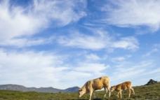 草原牛图片