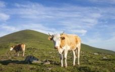 草原牛羊图片