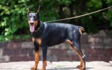 黑色杜宾犬图片