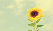 向日葵高清壁纸图片