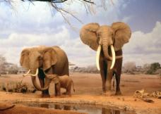 非洲大象图片