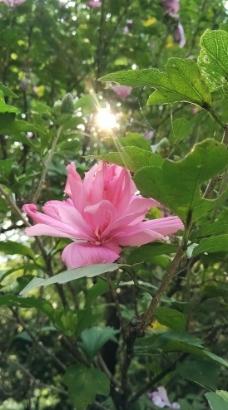 木槿花开图片