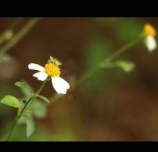 小景深雏菊图片