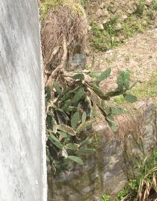 木质化仙人掌图片
