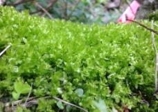 苔藓小草图片