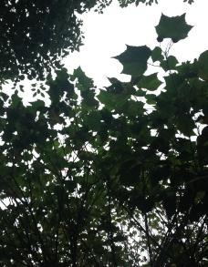木棉花叶子图片