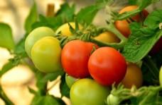 有机西红柿