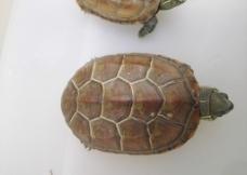 好看的宠物龟图片
