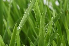 春天草地上的露珠