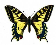 黄黑色高清蝴蝶
