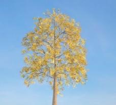 白腊树3d模型下载