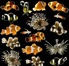 小丑鱼与狮子鱼高清图片素材