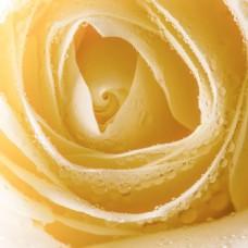 大气黄色玫瑰花背景图