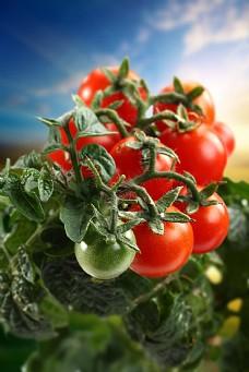 西红柿背景素材