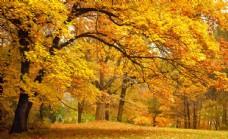 秋天的枫树林图片