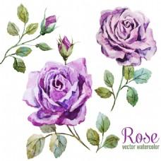 唯美水彩绘紫玫瑰插画
