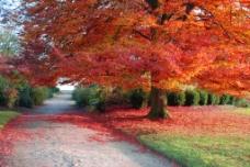 高清红色落叶树木背景